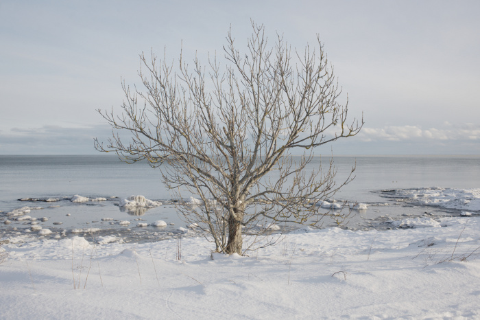 Tree foregrounded by snow, and backgrounded by the sky and the sea
