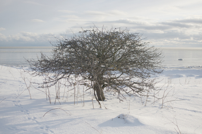 Another tree foregrounded by snow, and backgrounded by the sky and the sea