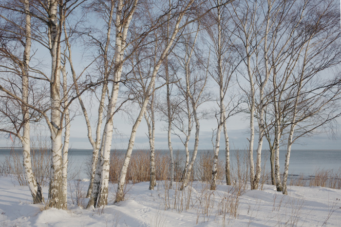 A collection of birches