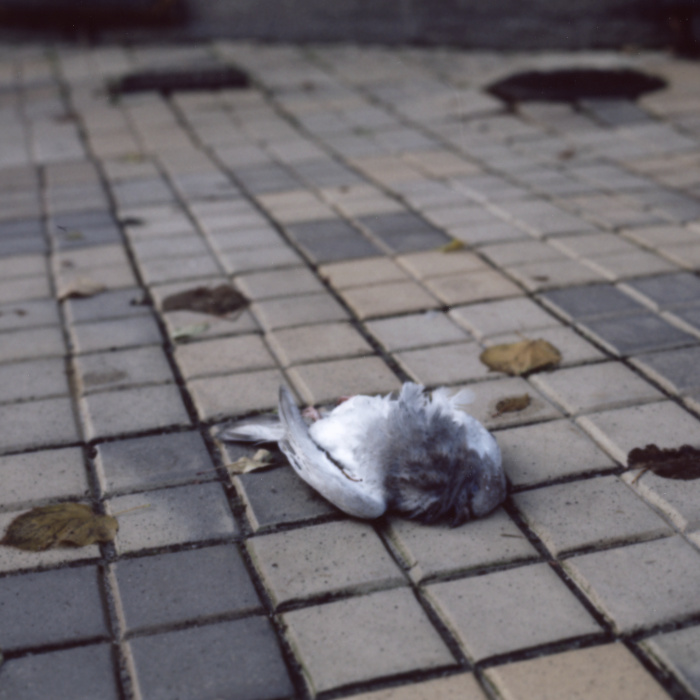 Dead pigeon on the ground.
