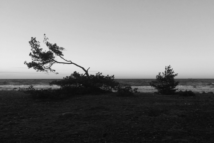 Low, windswept pine tree on see shore. Silhouette photograph in black-and-white with sea and sky in the background.