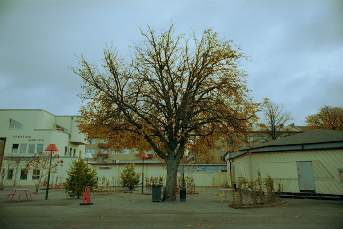 Centered tree with autumn leaves. Some houses in the background.