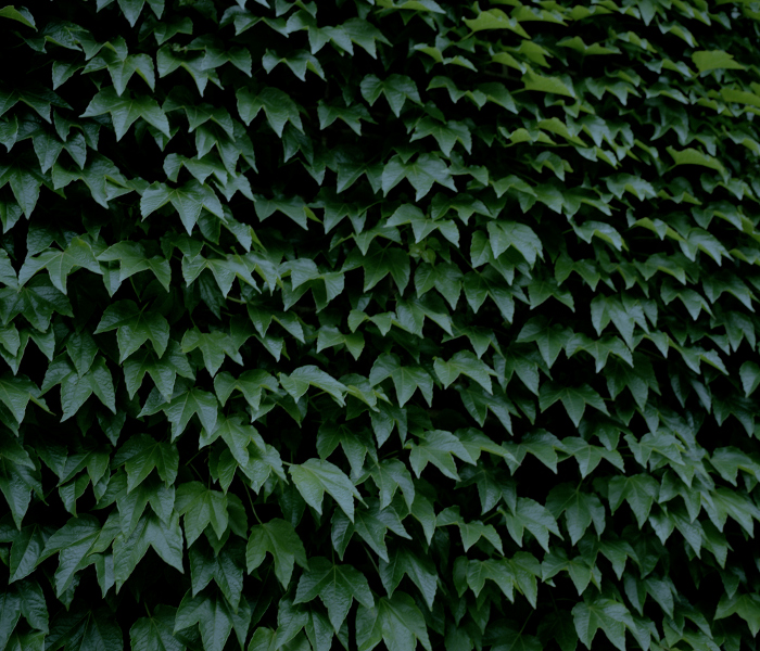 Wall of green leaves.